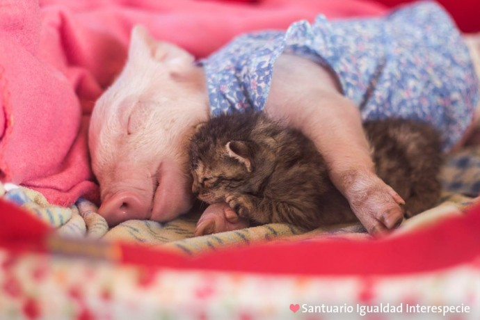 Piglet Saved From Slaughter Becomes Best Friends With A Kitten And Now They're Inseparable
