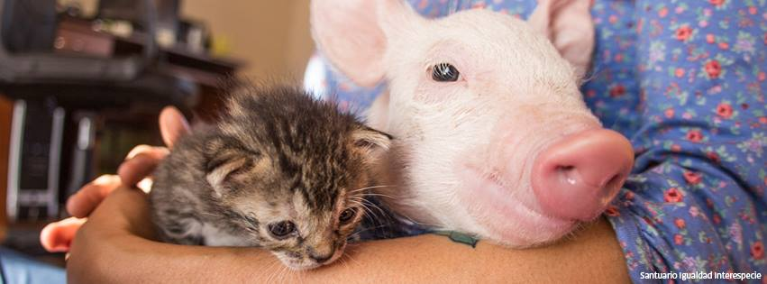 Piglet Saved From Slaughter Becomes Best Friends With Rescue Kitten And Now They're Inseparable