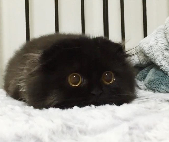 This is Gimo, The Cat With Unbelievably Cute Big Eyes The Internet Has Fallen In Love With