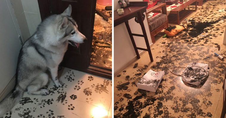 Image result for Family leaves their husky alone for 3 hours – dog redesigns the apartment