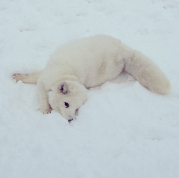 This Cute Pet Arctic Fox Laughs In The Funniest Way Ever, And You Really Have To See It!