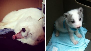 this-cute-pet-arctic-fox-laughs-in-the-funniest-way-ever-and-you-really-have-to-see-it