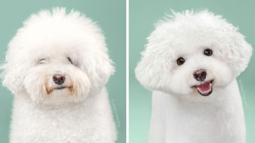 how-dogs-change-before-and-after-their-haircuts