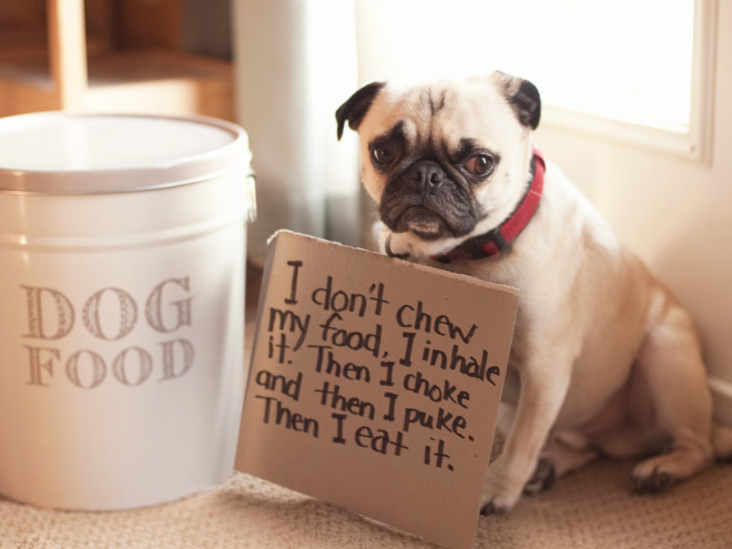 15 Guilty Pugs Being Shamed For Their Pug Crimes