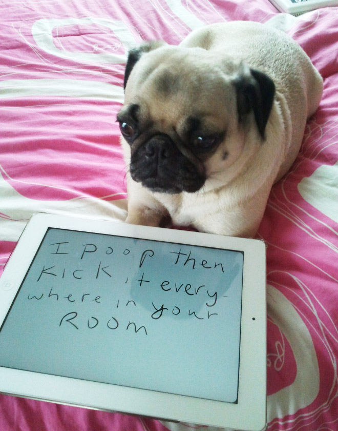 pug pooping 15 guilty pugs being shamed for their pug crimes 8480