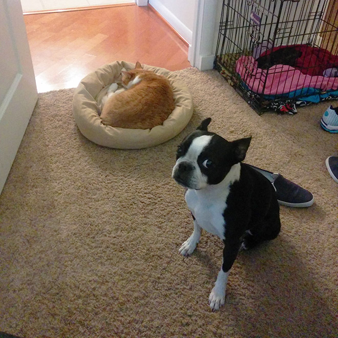 16 Hilarious Photos Of Dogs Who Got Kicked Out Of Their Bed By Cats