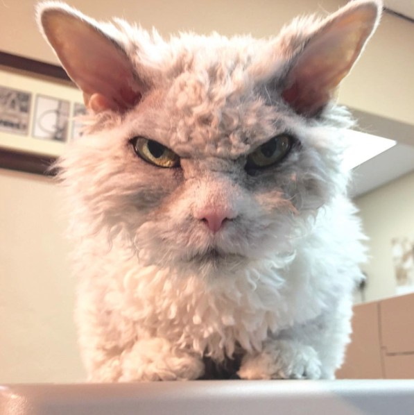 Meet Pompous Albert, The Office Cat Who Looks Always Pissed Off