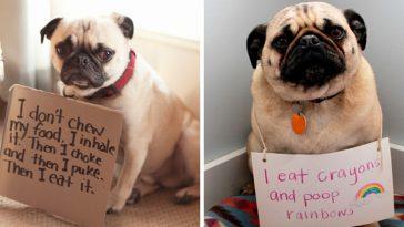 pug-shaming