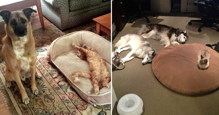 16-hilarious-photos-dogs-got-kicked-bed-cats