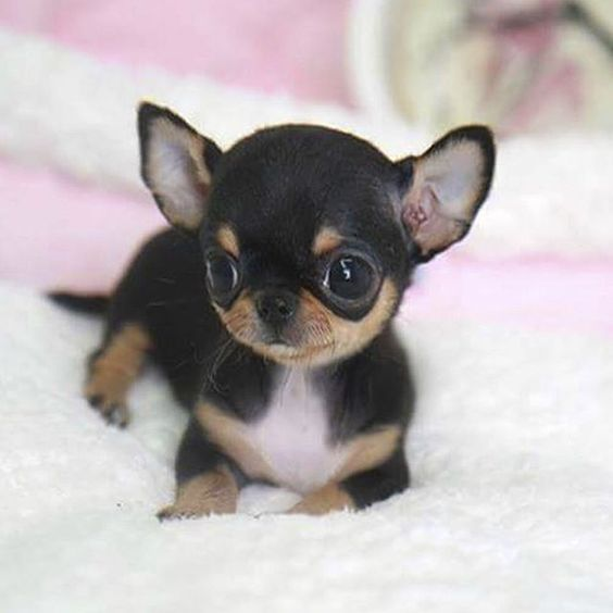 22 Adorably Tiny Puppies That Will Make Your Heart Melt From Cuteness
