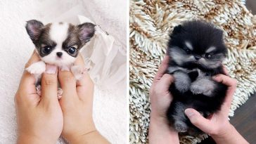 22-adorably-tiny-puppies-that-will-make-your-heart-melt-from-cuteness
