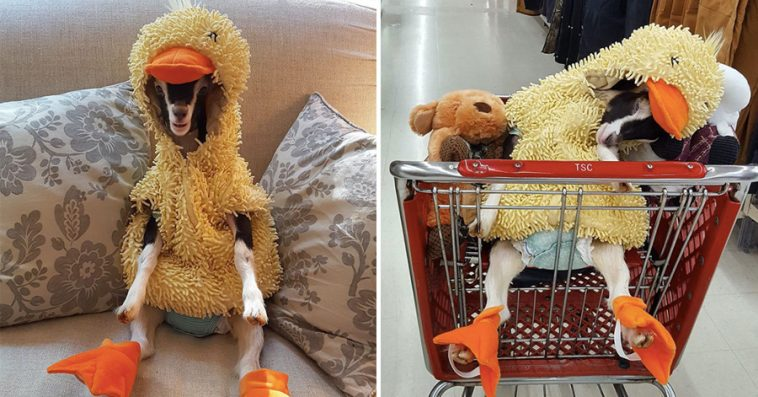 rescue-goat-suffers-anxiety-calms-duck-costume