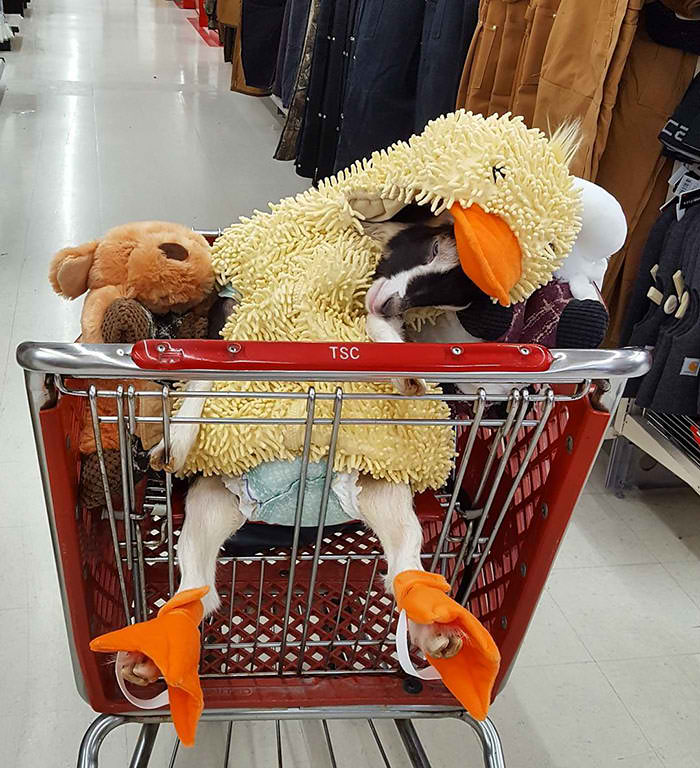 Rescue Goat That Suffers From Anxiety Only Calms Down In Her Duck Costume