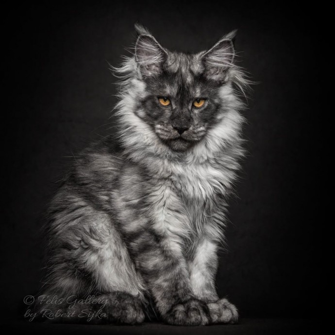 What Does A Main Coon Cat Look Like