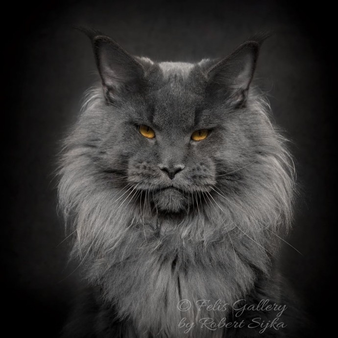 artist photographs maine coon cats who look like majestic mythical beasts. Black Bedroom Furniture Sets. Home Design Ideas
