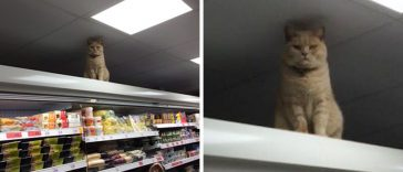 cat-refuses-leave-supermarket-no-matter-many-times-try-kick