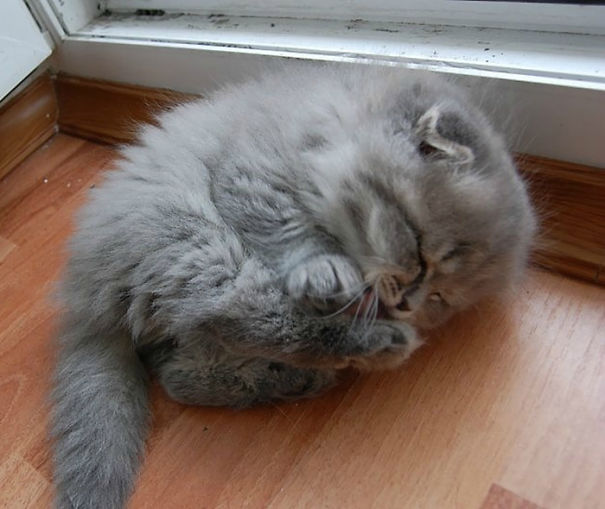 Of The Fluffiest Cats Ever - 25 of the fluffiest cats ever
