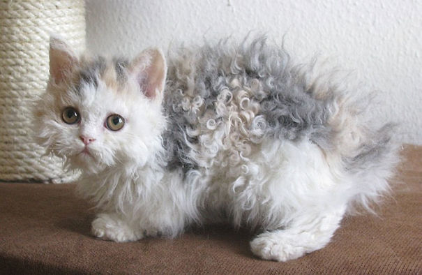 Of The Fluffiest Cats Ever Page Of - 25 of the fluffiest cats ever