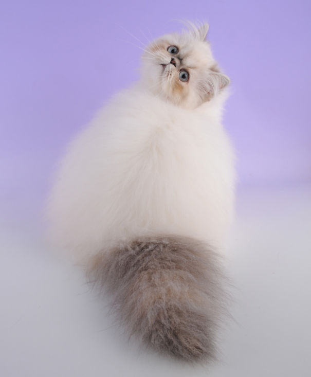 25 Of The Fluffiest Cats Ever Page 2 Of 3