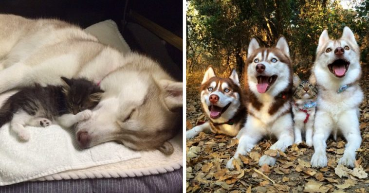 Cat Saved And Raised By Huskies Now Thinks He's A Dog