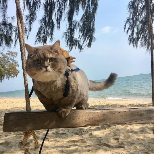 This Is Bone Bone The Big Fluffy Cat From Thailand The