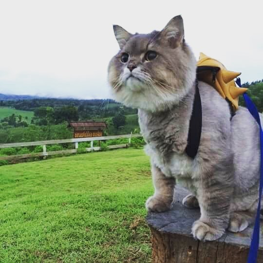 This Is Bone Bone The Big Fluffy Cat From Thailand The Internet - This is bone bone the big fluffy cat from thailand the internet is falling in love with
