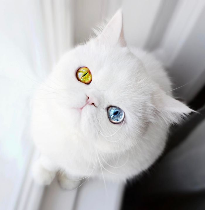 This Is Pam Pam The Kitten With Heterochromia With Hypnotic Eyes - This is pam pam the kitten with heterochromia with hypnotic eyes you just cant stop looking at