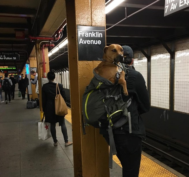 NYC Subway Bans Dogs Unless They Fit Into A Bag - Nyc subway bans dogs unless fit bag new yorkers reacted