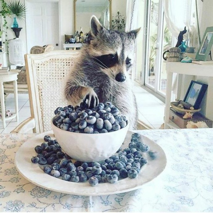 Pictures Proving That Trash Pandas Are The Funniest Animals In - 22 photos proving animal world better place