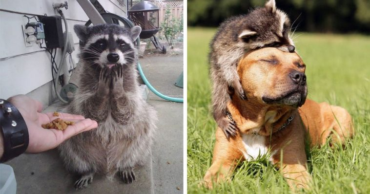 Pictures Proving That Trash Pandas Are The Funniest Animals In The World