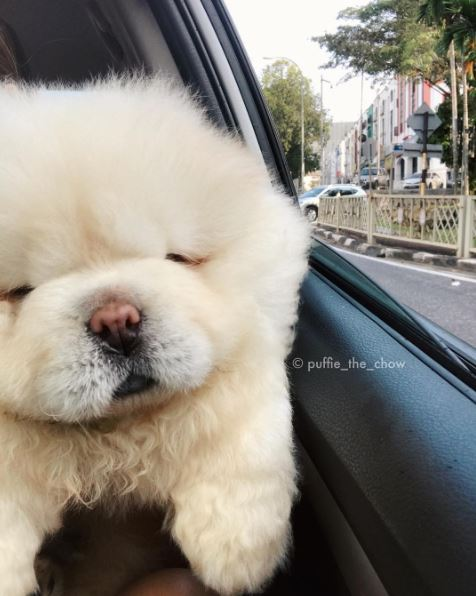 This Instagram Chow Chow Looks Like A Fluffy Potato And Its So - This instagram chow chow looks like a fluffy potato and its so cute it doesnt even look real