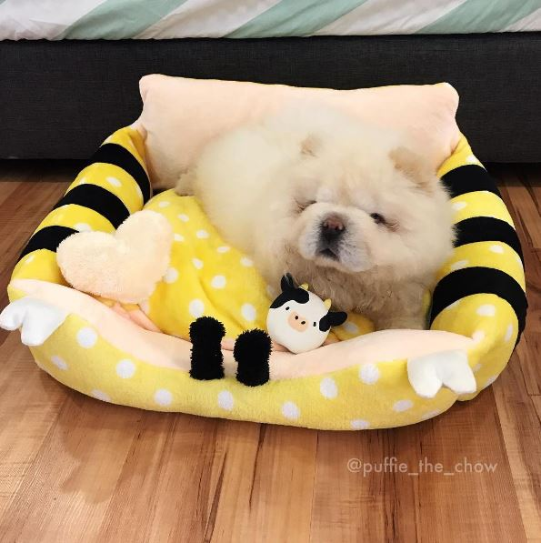 this instagram chow chow looks like a fluffy potato  and it u0026 39 s so cute it doesn u0026 39 t even look real
