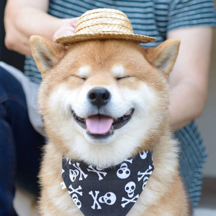 Meet Ryujii The Handsome And Ridiculously Cute Shiba From