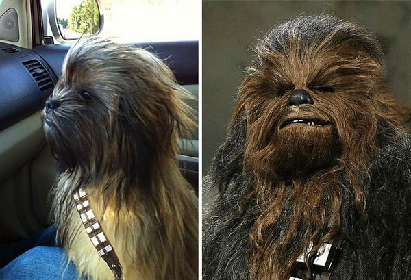 Dog looking like Chewbacca