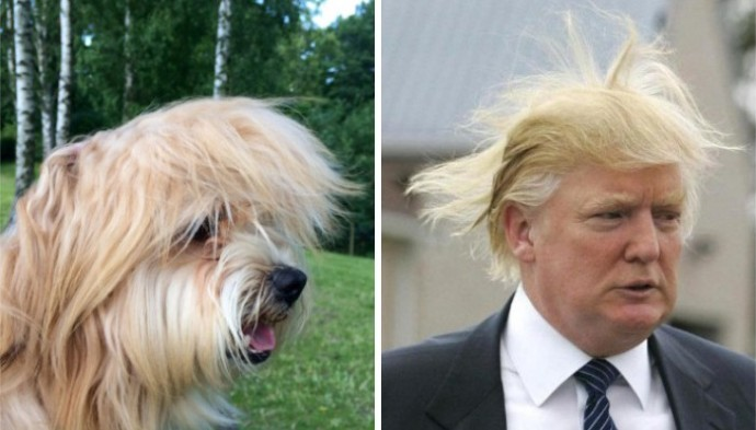 Dog looking like Donald Trump