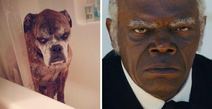 Dog looking like Samuel L. Jackson