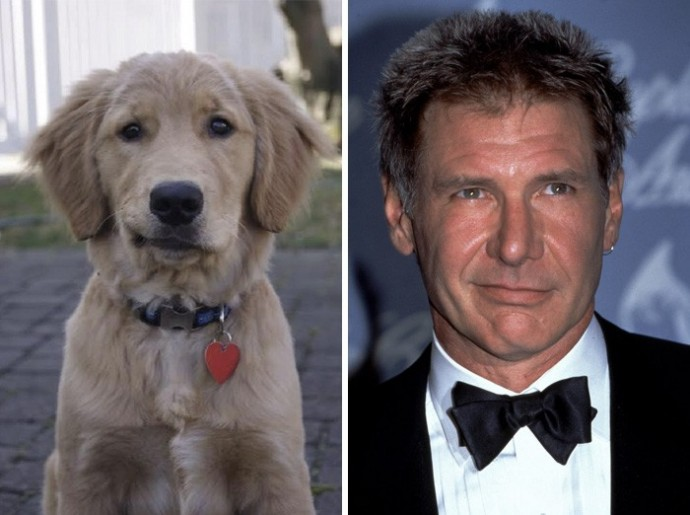 Dog looking like Harrison Ford