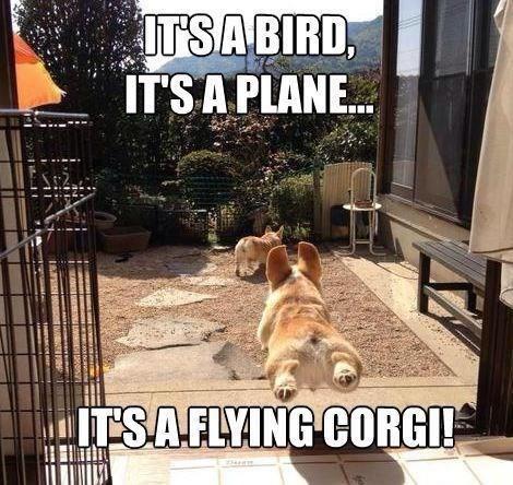 22 hilarious corgi memes proving theyre here to put a