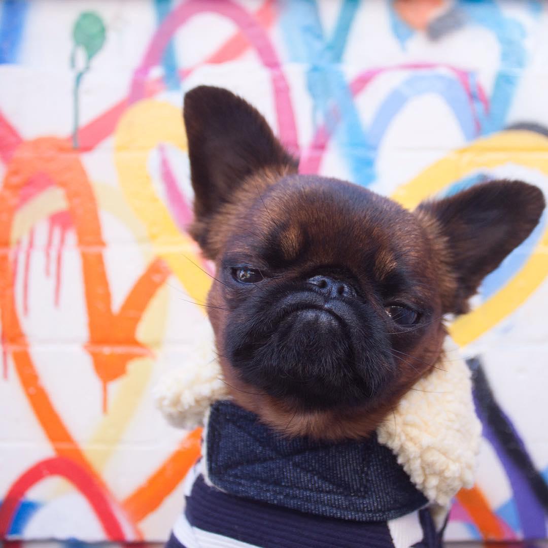 Meet Gizmo The Grumpy Dog Who Looks Like He S Always