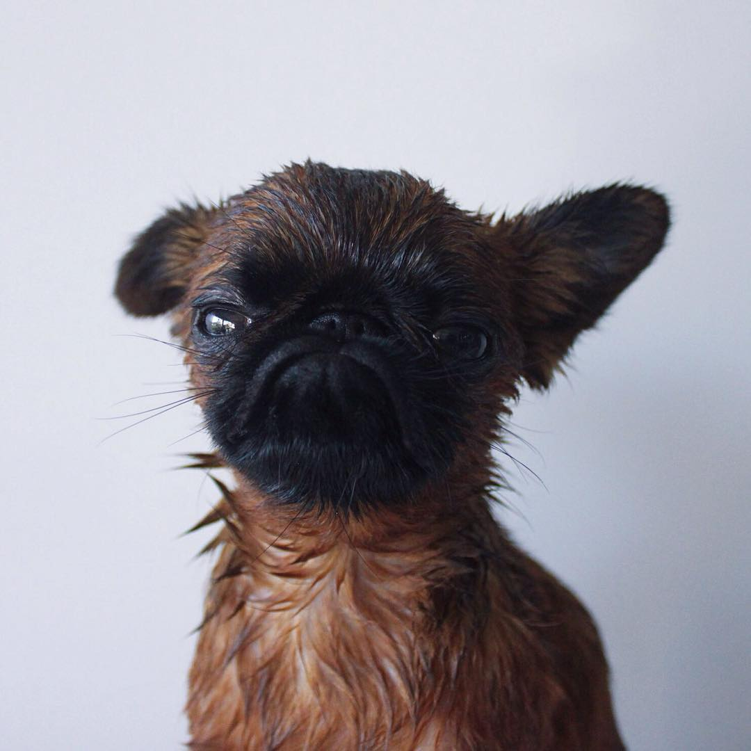 Meet Gizmo, The Grumpy Dog Who Looks Like He's Always ...  Meet Gizmo, The...