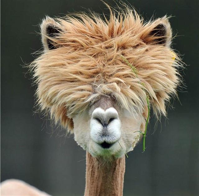 hilarious-alpaca-hairstyles-13