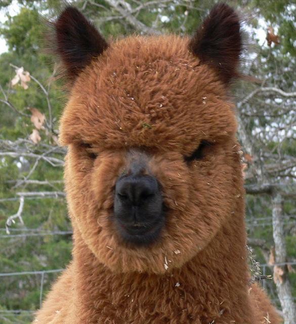 hilarious-alpaca-hairstyles-14