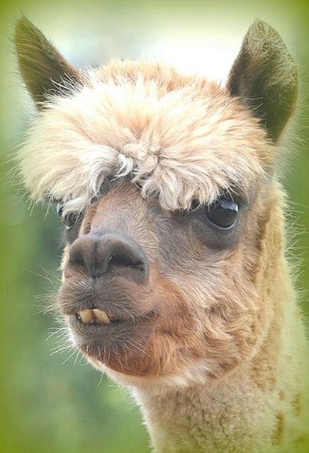 hilarious-alpaca-hairstyles-15