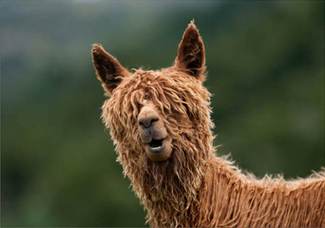 hilarious-alpaca-hairstyles-17