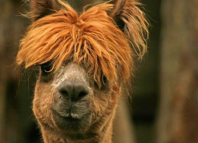 hilarious-alpaca-hairstyles-20