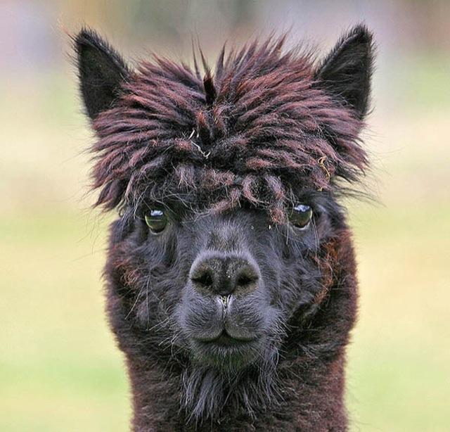 hilarious-alpaca-hairstyles-21