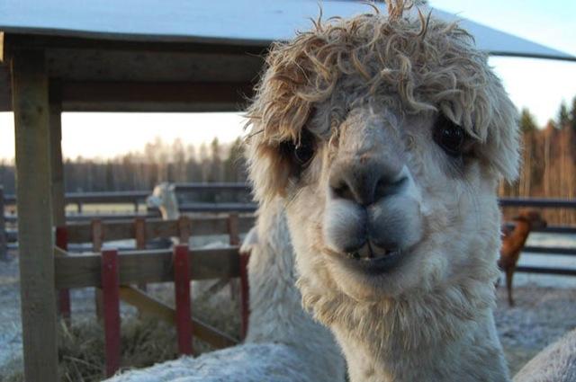 hilarious-alpaca-hairstyles-22