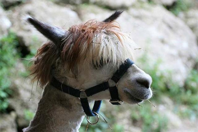 hilarious-alpaca-hairstyles-3