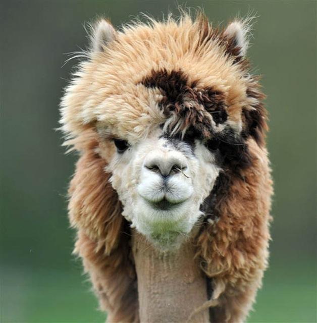 hilarious-alpaca-hairstyles-5