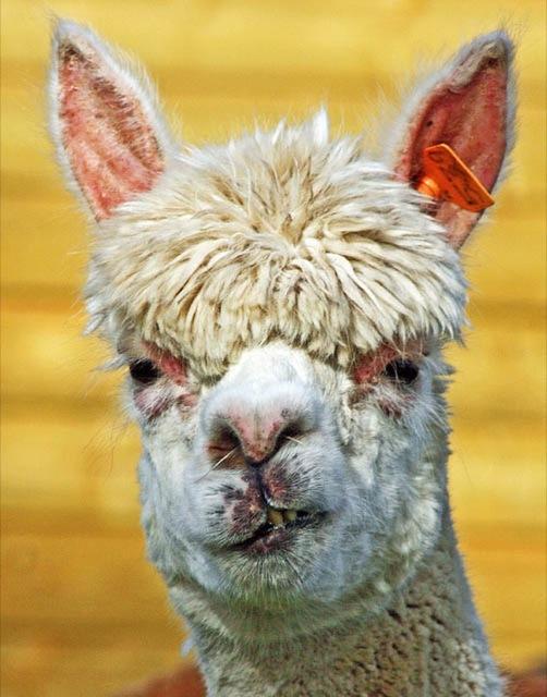 hilarious-alpaca-hairstyles-6